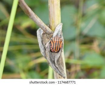 Minstrel bug black red stripes