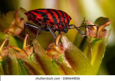 Minstrel bug Graphosoma lineatum