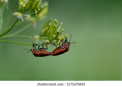 Minstrel bugs on a plant