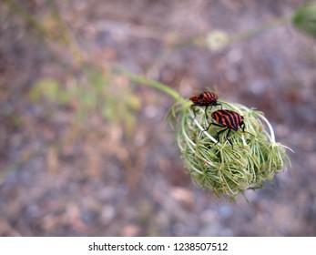 Minstrel bugs on a wild carrot