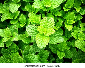 Mint background, close up and vivid color method