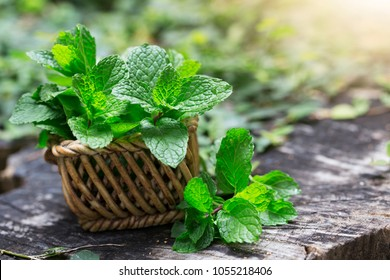 Mint. Bunch of Fresh green organic mint leaf on wooden table closeup. Selective focus. Peppermint in small basket on natural wooden background