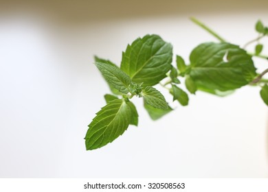 Mint closeup - Shutterstock ID 320508563