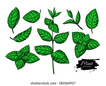 Mint drawing set. Isolated plant and leaves. Herbal hand drawn artistic style illustration. Detailed organic product sketch. Cooking spicy ingredient