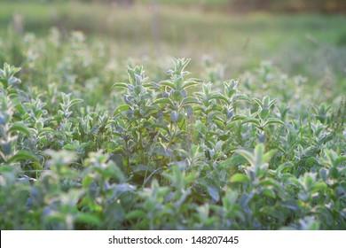 Mint field in sunshine