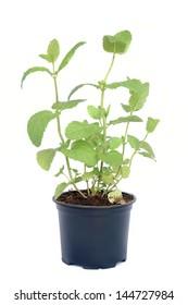 Mint in flowerpot on white