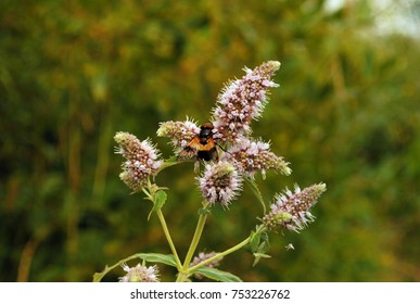 Mint flowers with botfly insect on petals. Plant main theme center with green background in the wild meadow. Mentha stalks summer day. Invertebrate spread wings.