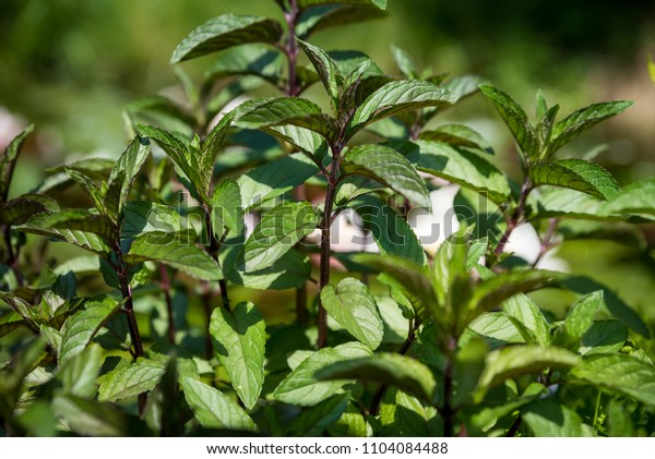 Mint with a fragrant and healthy herb
