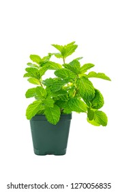 Mint Growing Herbs Plants Isolated on white background. Selective focus.