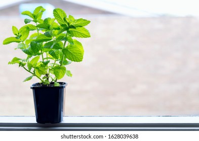 Mint growing on the pot on window. Horizontal orientation, Space for text.