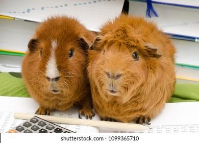 mint guinea pigs