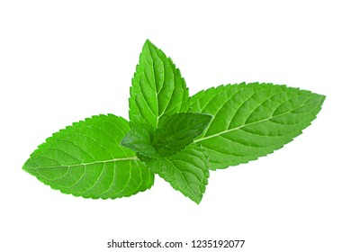 Mint herb leaf closeup isolated on white background