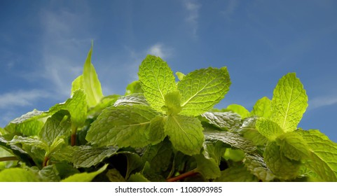 mint leaf background, Thai food pepermint, spices