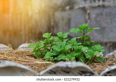 Mint leaf green plants with aromatic properties of strong teeth and fresh ivy as a ground cover plant types .Tropical Vegetables in the kitchen Thailand in Pot plant.