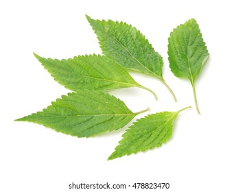 Mint leaf isolated over white background