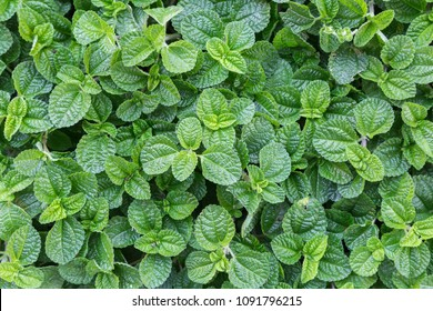 Mint leaf or peppermint plant grow at vegetable garden.