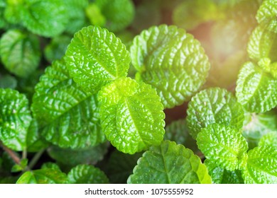 Mint Leaves Background Leaf Green Plants With Aromatic Refreshed Peppermint Wallpaper