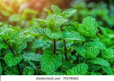 Mint leaves background leaf green plants with aromatic properties fresh ivy ground cover plant types Tropical Vegetables Vegetable Garden Kitchen use in cooking, add flavor and cool refreshing taste
