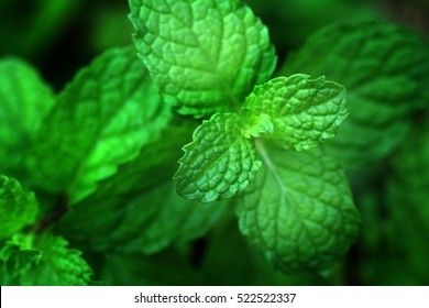 Mint leaves background. peppermint. leaves of mint on green background. Closeup of fresh mints leaves texture or abstract background.