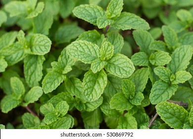 Mint Leaves Background Mint Leaf Green Plants Stock Photo