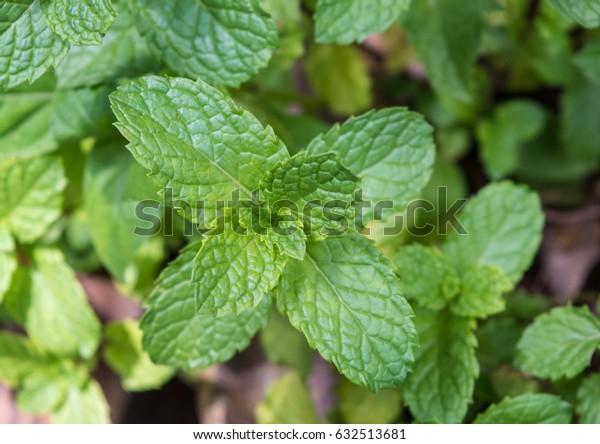 Mint leaves, Peppermint leaves, Closeup of fresh mint leaves.
