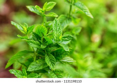 Mint leaves. peppermint of mint on green background.Closeup of fresh mints leaves texture or abstract. Peppermint.Thai herbal green leaf fragrance has antioxidant and anti-carcinogenic properties