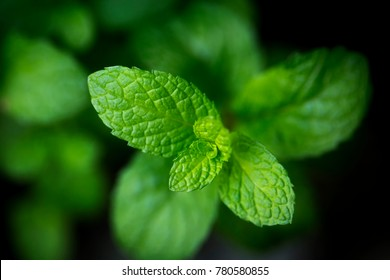 Mint leaves. peppermint of mint on green background.Closeup of fresh mints leaves texture or abstract
