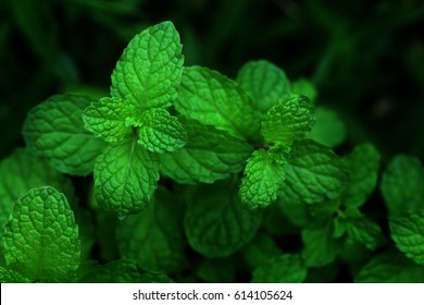 Mint leaves.Mint leaves.Mint leaves background.peppermint.leaves of mint