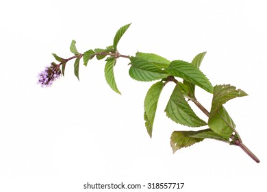 Mint mentha pulegium herbs isolated on a white background
