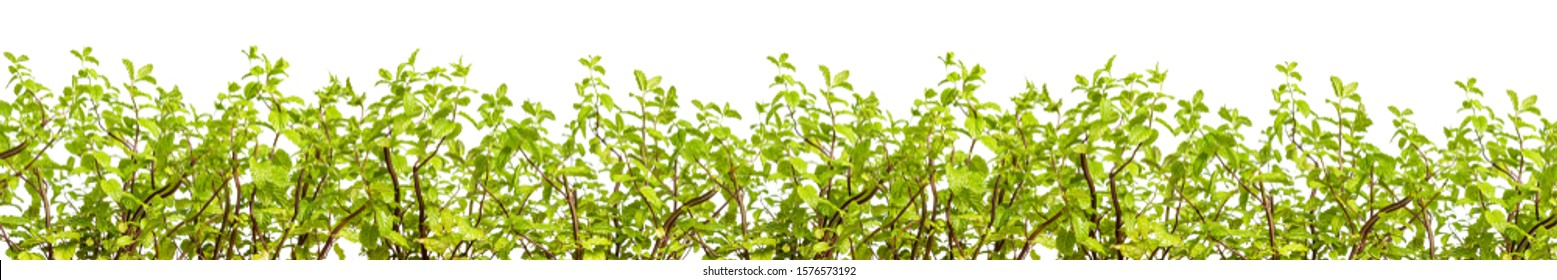 Mint - a natural spice and addition to drinks and dishes. Mint growing.