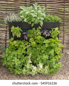 Mint, Parsley, Basil, Sage and Thyme Home Grown and Organic Herbs in a Vertical Garden Made from a Wooden Pallet on an Allotment in a Vegetable Garden in Rural Essex, England, UK