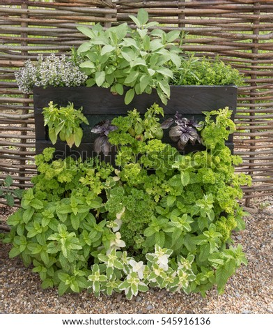 Mint, Parsley, Basil, Sage And Thyme Home Grown And Organic Herbs In A