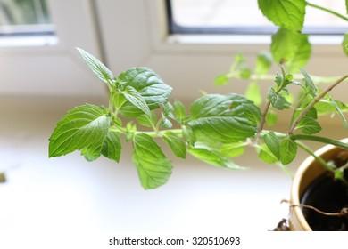 Mint plant - Shutterstock ID 320510693