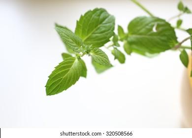 Mint plant closeup - Shutterstock ID 320508566