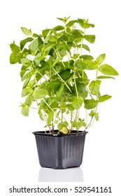 Mint plant isolated on white background