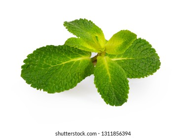 mint plant on white background isolated