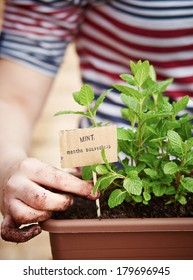 Mint plant in pot on urban garden