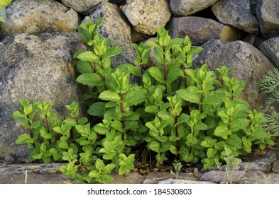 mint plant sprouts