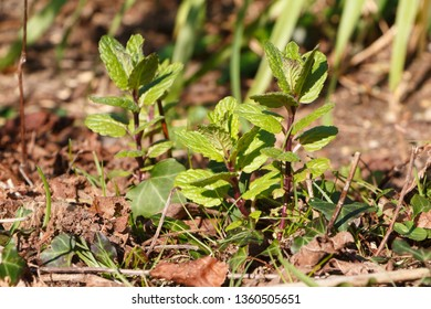 Mint plant in a vegetable garden during spring