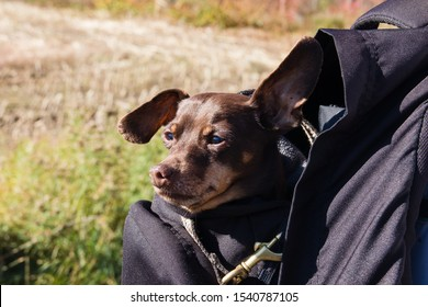 minuature brown male pinscher dog traveling in a backpack