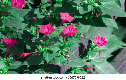 Mirabilis is a genus of plants in the family Nyctaginaceae known as the four-o'clocks or umbrellaworts. The best known species may be Mirabilis jalapa, the plant most commonly called four o'clock.