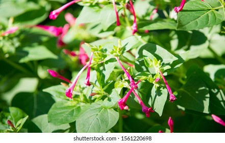 Mirabilis is a genus of plants in the family Nyctaginaceae known as the four-o'clocks or umbrellaworts. The best known species may be Mirabilis jalapa, the plant most commonly called four o'clock. - Shutterstock ID 1561220698