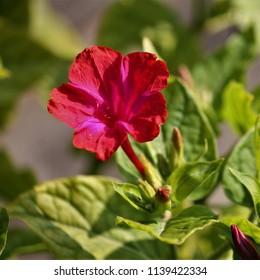 mirabilis jalapa flower