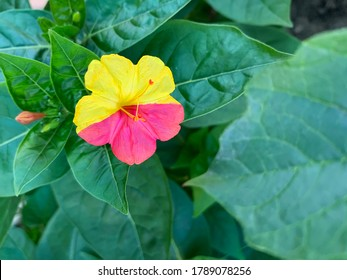 The Mirabilis jalapa flower is divided into yellow and pink light, a genetic mutation in the alleles.