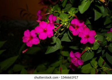 Mirabilis jalapa or The Four o' Clock Flower with in the night