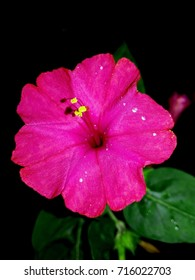 Mirabilis jalapa or The Four o' Clock Flower with water drops after rain in the night