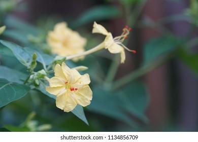 Mirabilis jalapa or Four o'clock flower, Marvel of Peru
