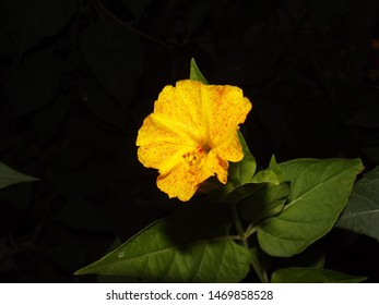Mirabilis jalapa is a genus of plants in the family Nyctaginaceae known as the four-o'clocks or umbrellaworts. 5 petal small yellow flower and its leaves in the background.