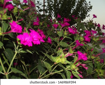 Mirabilis jalapa is a genus of plants in the family Nyctaginaceae known as the four-o'clocks or umbrellaworts. 5 petal small pink flower and its leaves in the background.