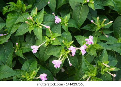 mirabilis jalapa marvel of peru or four o'clock pink flowera with green background